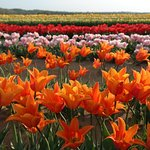 Our tulip fields.