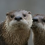 Don't miss our playful North American river otters located behind the World of Adaptations build
