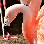 Say hello to the Zoo's Chilean flamingos upon your next visit.