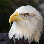 A conservation success story - catch a glimpse of the Zoo's three bald eagles.
