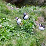 Lots of puffins...