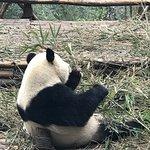 Giant Panda Breeding Research Base (Xiongmao Jidi) ภาพถ่าย