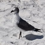 A laughing gull at midday.