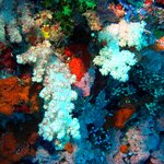 It lives up to the title of Soft Coral Capital of the world