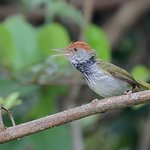 Dark-necked Tailorbird (Orthotomus atrogularis) 黑喉缝叶莺