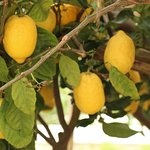 Lemon groves...
