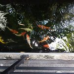 The Koi fish pond at the Bliss.