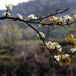 Pear Blossom: Sign of the arrival of Spring in Chhaimale Resort nature.