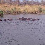 Hippos im Kwando