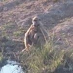 Primaten am Kwando
