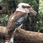 The kookaburro a the zoo