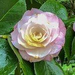 Camellia in Aberglasney
