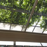 Very cool...grape tree on the roof.