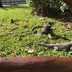 Iguanas roaming free