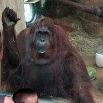 "lowland gorilla saying ""hi."""