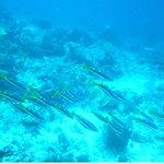 Bridled Monocle Dorade Scolopsis Bilineatus Dungan de Pescador Island