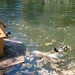 Утки возле домика
