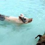 Major Cay pigs