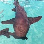 Nurse sharks at Compass Cay