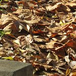 Autumn leaves opposite the Jasmin Restaurant entrance