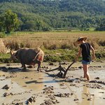 Ploughing the rice field with a buffalo