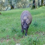 Iberian pigs!