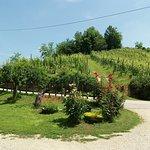 Le piante di vino
