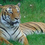 Tigre présent dans le parc
