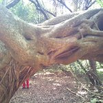 Killer Vines That Have Stangled an Ombu Tree