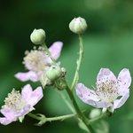 Blühende Brombeeren am Venusberg