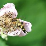 Wer kennt diesen Käfer in der Brombeerblüte?