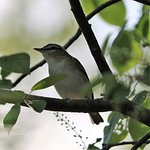 Red-eyed Vireo that landed a few feet from us