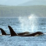 Killer Whales (orcas) on Orca Camp kayaking trip