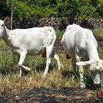 Galo De Allende goat farm