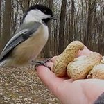 Pack peanuts for your chickadee friends!