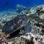 Hawksbil Turtle. Reef Diving Dauin