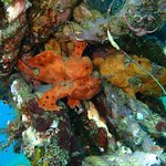 Frogfish couple. Muck Diving Dauin