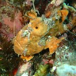 Orange Frogfish. Muck Diving Dauin