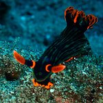 Nembrotha Nudi, super beauty! Muck diving Dauin