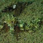 Sea Moth couple. Muck diving Dauin