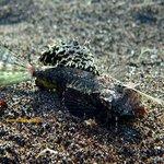 Dragonette. Dauin Muck Diving
