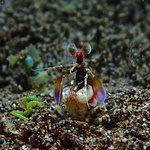 Are you talking to me? Spearing Mantis Shrimp. Muck Diving Dauin