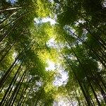 Looking upwards in Arashiyama.