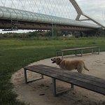 Labrador con puente.