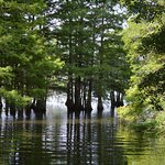 Cypress along Lake Marion