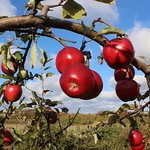 our apple trees