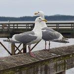 Western Gulls on the Pier