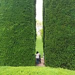 the neatly clipped yews