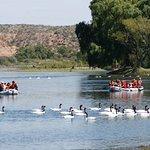 Cisnes de cuello negro en la confluencia de los ríos Neuquen y Limay que originan el Negro