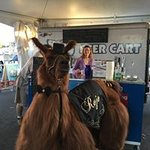 Rojo the LLAMA will be @Cartlandia June 8th 6-7 pm for LLAMA LOVE , selfies and more